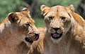 African lion, Panthera leo at Krugersdorp Game Park, South Africa (31156909922).jpg