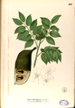 Afzelia rhomboidea Blanco2.281-original.png