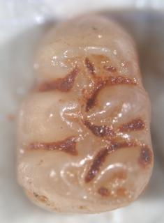 <i>Agathaeromys</i> genus of mammals