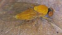 Agathomyia wankowiczii (02) - 2013-06-27.jpg