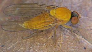 Agathomyia wankowiczii, kvinde