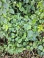 Ageratina adenophora 84.jpg