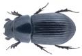 Agoliinus satyrus (Reitter, 1892).png