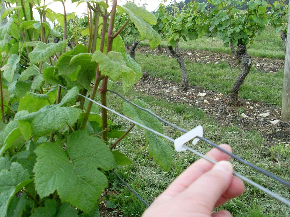 Agrafe palissage wikip dia - Parasite de la vigne ...