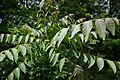 Ailanthus altissima foliage (17678561472).jpg