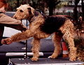 Airedale terrier (wystawa).jpg