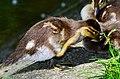 Aix galericulata (Küken) - Nymphenteich Zürichhorn 2013-06-06 15-19-56.JPG