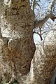 Akasha vali tree درخت زیارت آکاشا ولی 2 - panoramio.jpg