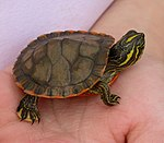 Alabama red-bellied turtle hatchling climbing up hand.JPG