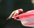 Allens Hummingbird (3336585745).jpg