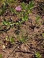 Allium schoenoprasum 2020-05-22 9169.jpg