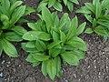 Allium victorialis 2016-04-19 7805.JPG