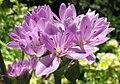 Alliumunifoliumbloom.jpg