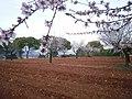 Almendros en flor en la ceja (6-3-2011) - panoramio.jpg
