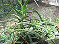 Aloe arborescens-bsi-yercaud-salem-India.JPG