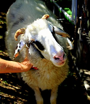Alpines Steinschaf - Image: Alpine Stone Sheep