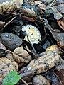Amanita gemmata 30107129.jpg
