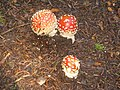 Amanita muscaria france 2007 - 2.jpg