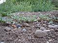 Amaranthus californicus (5133156032).jpg