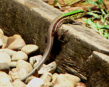 Amazon Racerunner, female.jpg