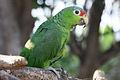 Amazona autumnalis -Zoologico Nacional de Nicaragua-8.jpg
