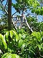 Ambarella leaves.jpg