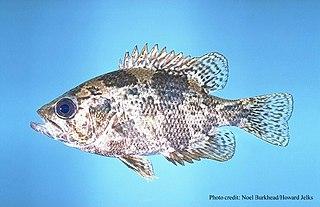 Shadow bass Species of fish