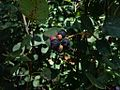 Amelanchier spicata 01.JPG