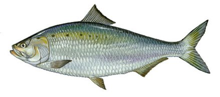 After an absence lasting many decades, the American Shad has recently returned to the Potomac. American Shad by Duane Raver USFWS.jpg