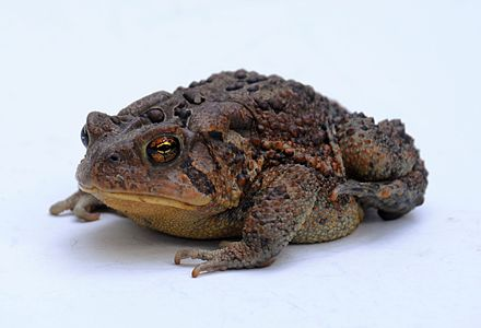 American toad (Bufo americanus) is an amphibian that can hibernate in winter. American toad - Bufo americanus - 3.JPG