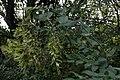 Amur Honeysuckle (Lonicera maackii) - Kitchener, Ontario 02.jpg