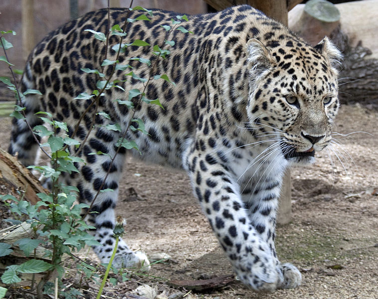 Why is the amur leopard endangered yahoo dating