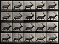 An elk walking. Photogravure after Eadweard Muybridge, 1887 Wellcome V0048765.jpg