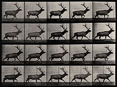 An elk walking. Photogravure after Eadweard Muybridge, 1887 Wellcome V0048765.jpg