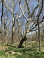An old crooked tree at Rock Creek Crossing in Council Grove, KS (0dc23366784547a69460b00b8f232862).JPG