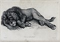 An old lion lying on the ground with a tired expression on i Wellcome V0020863.jpg