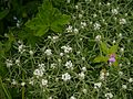 Anaphalis royleana var. concolor Hook.f. (7838267226).jpg