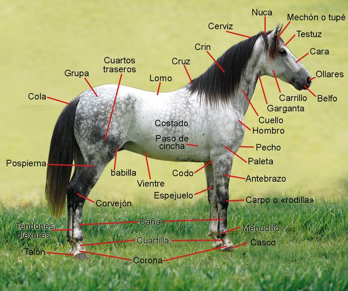 El caballo(Equus Ferus Caballus) 717px-AnatomiaExternaCaballo