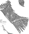 Anatomia Britannica- a system of anatomy Fleuron N001319-6.png