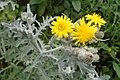 Andryala pinnatifida kz6.jpg