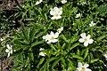 Anemone canadensis kz01.jpg