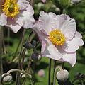 Anemone hupehensis-IMG 7151.jpg