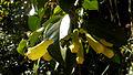 Anemopaegma citrinum Mart. ex DC. (4069623917).jpg