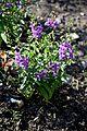 Angelonia angustifolia 'Serena Bleu' in Jardin des Plantes de Toulouse 01.jpg