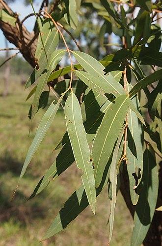 Angophora floribunda - Image: Angophora floribunda foliage