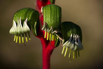 Kangaroo paw - aspect of a Anigozanthos manglesii showing the characteristic of the plant from which its name is derived
