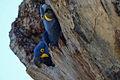 Anodorhynchus hyacinthinus -Mato Grosso do Sul, Brazil -nest-8 (1).jpg