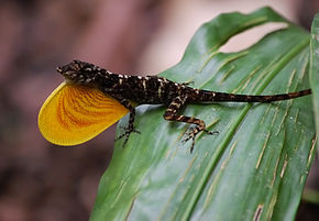 Description de l'image Anolis polylepis, Costa Rica.JPG.