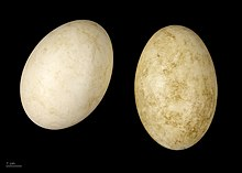 Two off-white goose eggs on a black background