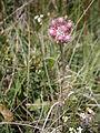 Antennaria dioica female.jpg
